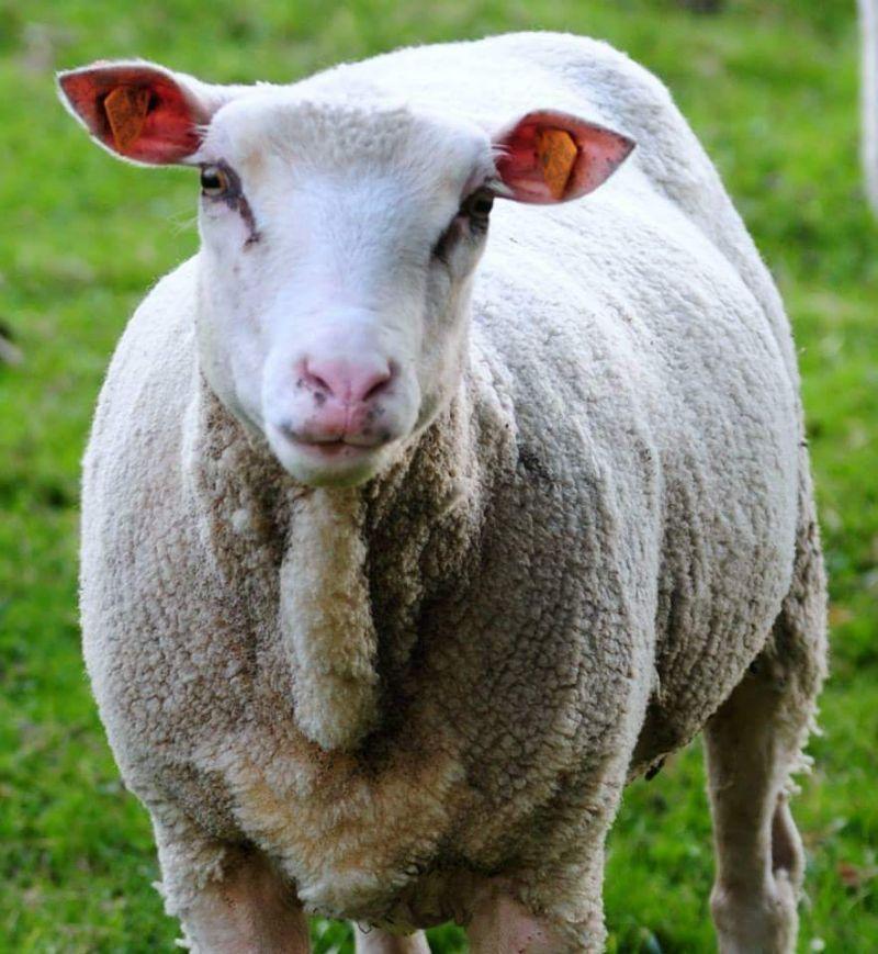 owca-michael-autor-bolek-wojcik